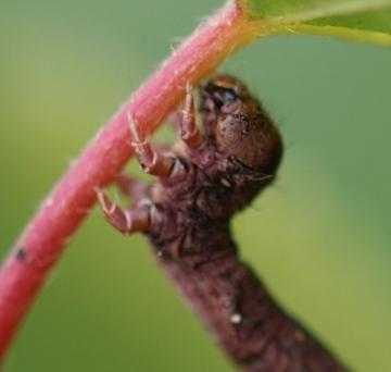 C pennaria larvae head Copyright: Robert Smith
