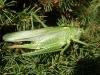 Great green bush cricket Copyright: Sue Grayston