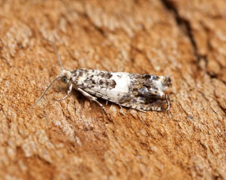 Epinotia subocellana 2 Copyright: Ben Sale