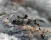 Lobesia littoralis 3 GD Copyright: Graham Ekins