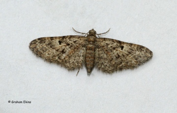 Oak Tree Pug Eupithecia dodoneata Copyright: Graham Ekins