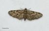 Oak Tree Pug Eupithecia dodoneata Copyright: Graham Ekins