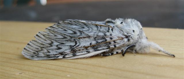 Puss Moth. Copyright: Stephen Rolls