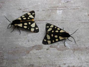Cream Spot Tiger 3. Copyright: Stephen Rolls