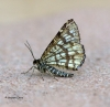 Latticed Heath  Chiasmia clathrata Copyright: Graham Ekins