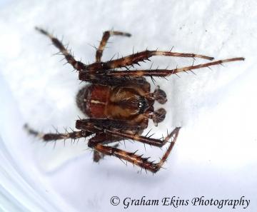 Araneus diadematus 4 Copyright: Graham Ekins