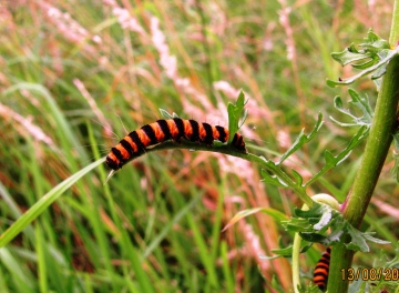 Cinnabar moth caterpillar Copyright: Graham Smith