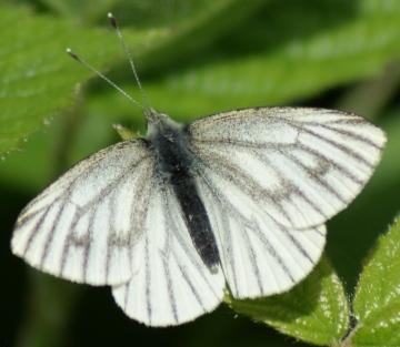 female (spring form) Copyright: Robert Smith