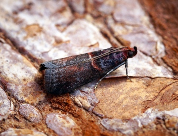 Acrobasis advenella 3 Copyright: Ben Sale