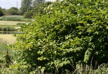 Japanese Knotweed Copyright: Peter Harvey