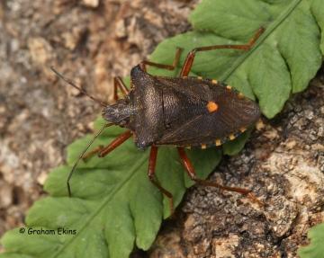 Pentatoma rufipes (Forest Bug) Copyright: Graham Ekins