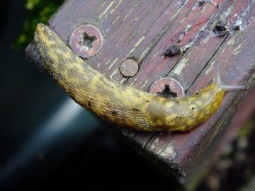 Irish Yellow Slug Copyright: Peter Pearson