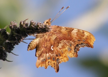 Comma butterfly Copyright: Sue Grayston