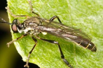 Dioctria baumhaueri
