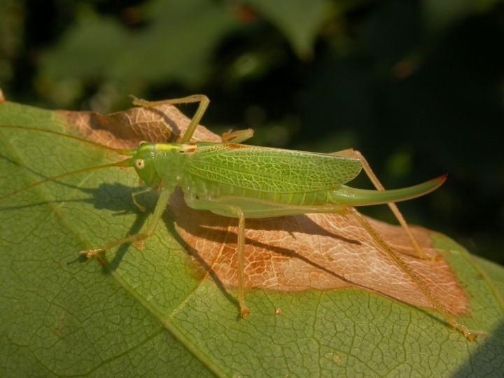 Meconema thalassinum  (Oak Bush Cricket) Copyright: Graham Ekins