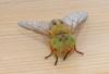 Saltmarsh Horsefly Atylotus latistriatus Copyright: Chris Gibson