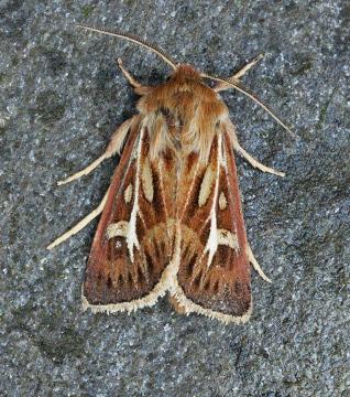 Antler Moth  Cerapteryx graminis Copyright: Graham Ekins