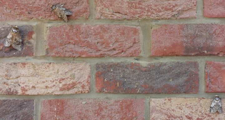Goat moth group Copyright: Richard and Lesley Beeton