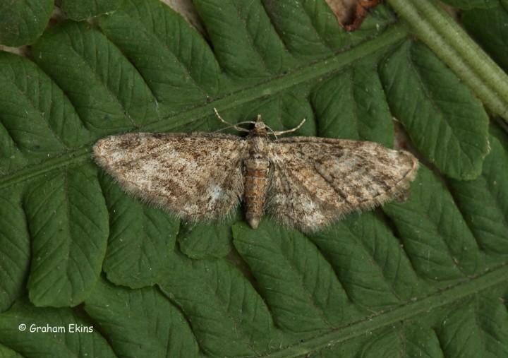 Eupithecia inturbata Maple Pug Copyright: Graham Ekins