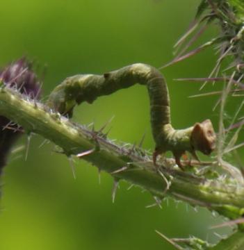 caterpillar on Marsh Thistle Copyright: Robert Smith