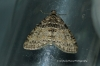 Lobophora halterata 2 Copyright: Graham Ekins