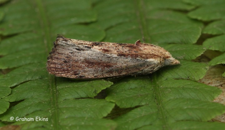 Galleria mellonella Wax Moth 1 Copyright: Graham Ekins