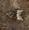 Mesoligia furuncula  Claoked Minor 1 Copyright: Graham Ekins
