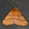 Feathered Thorn Colotois pennaria Copyright: Graham Ekins