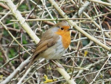 Erithacus rubecula Copyright: Gareth Kelly