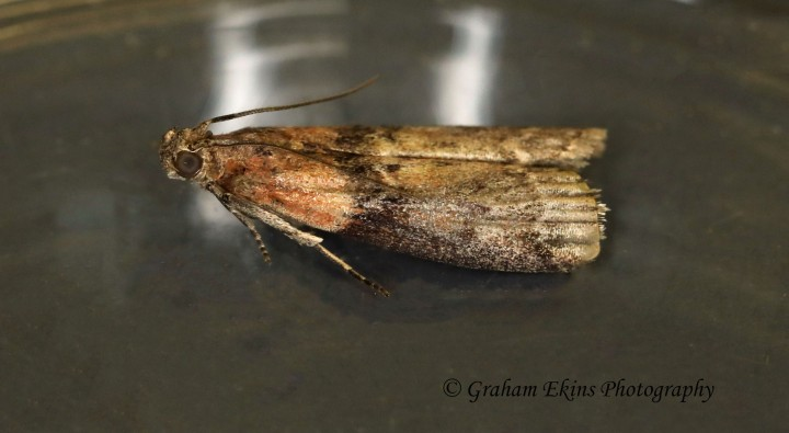 Sciota adelphella 3 Copyright: Graham Ekins