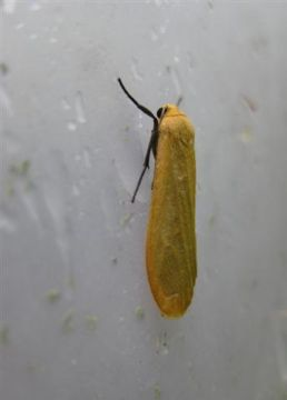 Orange Footman Copyright: Stephen Rolls
