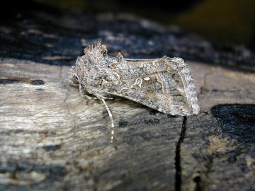 Ni Moth. Copyright: Robin Barfoot.