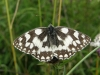 Marbled white butterfly Copyright: Sue Grayston