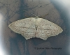 Scopula emutaria Rosy Wave 3 Copyright: Graham Ekins