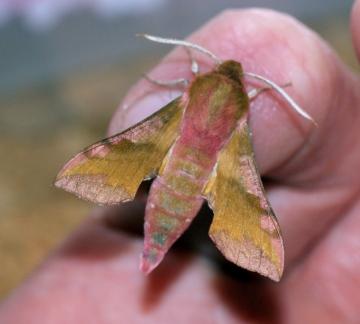 Small Elephant Hawk-moth Copyright: Ben Sale