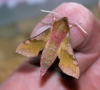 Small Elephant Hawk-moth Copyright: Ben Sale