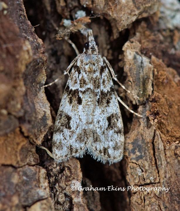 Eudonia delunella  2 Copyright: Graham Ekins