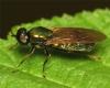Chloromyia formosa female 20160721-6507 Copyright: Phil Collins