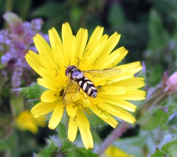 Dasysyrphus albostriatus 2 Copyright: Graham Smith