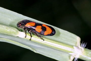 Cercopis vulnerata (16 May 2011) Copyright: Leslie Butler