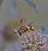 Chrysotoxum bicinctum 1 Copyright: Graham Ekins