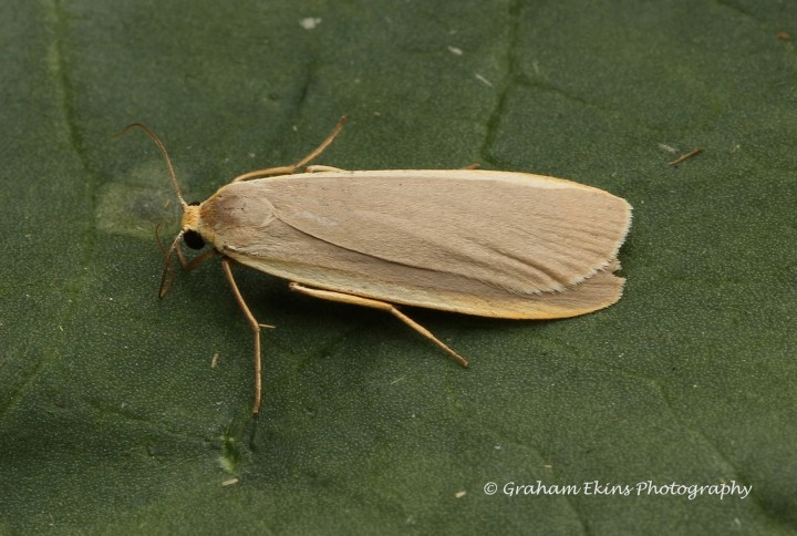 Eilema depressa  Buff Footman Copyright: Graham Ekins