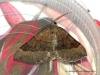 Shaded Broad-bar  Scotopteryx chenopodiata Copyright: Graham Ekins
