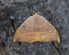 Oak hook-tip 3 Copyright: Graham Ekins