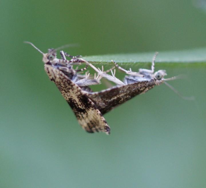 Celypha lacunana mating Copyright: Robert Smith
