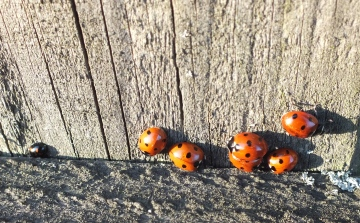 Ladybirds sunning Copyright: Peter Pearson