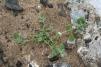 Chenopodium vulvaria Copyright: Peter Harvey