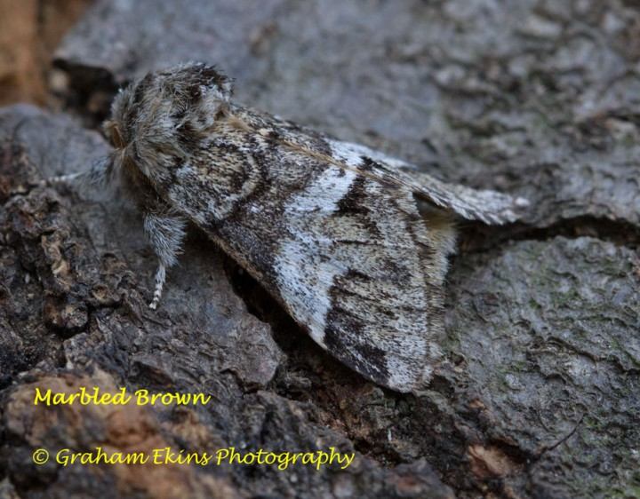 Marbled Brown Copyright: Graham Ekins