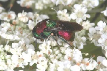 Hedychrum nobile female