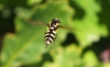 Hoverfly Xanthogramma pedissequum Copyright: Peter Pearson
